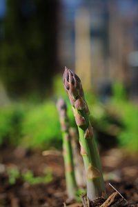 Fresh Spring Asparagus Growing In My Garden