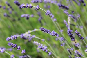 Lavender In The Kitchen-3 Ways To Preserve It And Recipes To Use It
