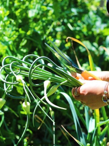 Katie of Creekside Produce picking Garlic Scapes
