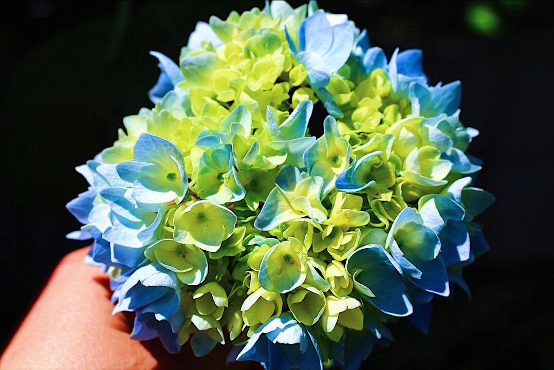 Gorgeous Lush Hydrangeas