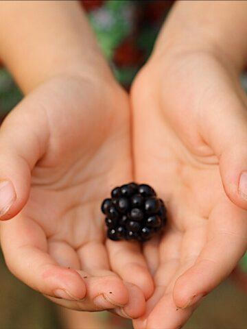 Little Hands Helping Pick Blackberries
