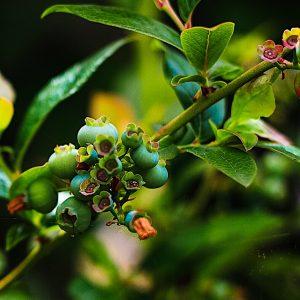 Blueberry Bush Growing On The West Coast