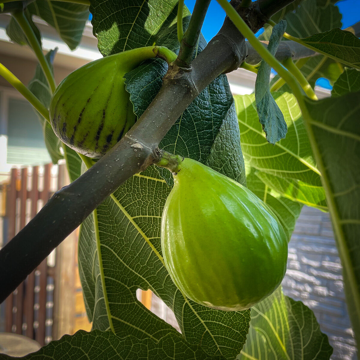 Ripe figs still on the tree branch ready to be picked
