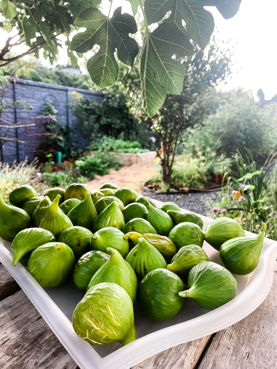 A tray of figs harvested from the tree it is under